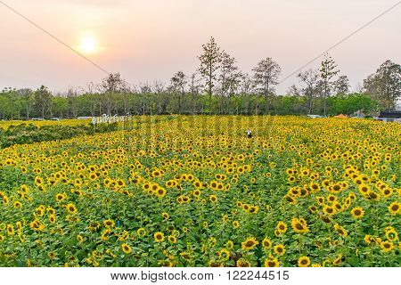 Sunflower field have yellow field for background