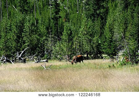 Large antlered elk forages through the high grass of a field in Yellowstone National Park. Horns are still in velvet.