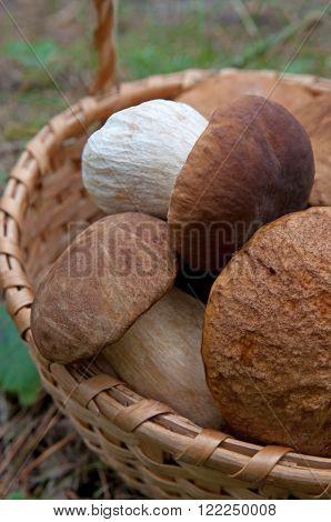 Porcini Mushrooms Boletus edulis in a basket.
