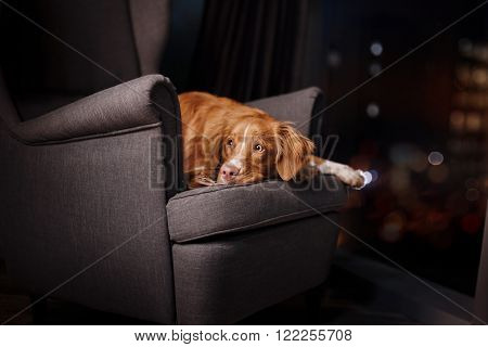 Dog Nova Scotia Duck Tolling Retriever portrait dog on a studio color background dog lying on a chair in the studio
