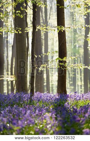 bluebell flowers in spring forest Hallerbos Belgium
