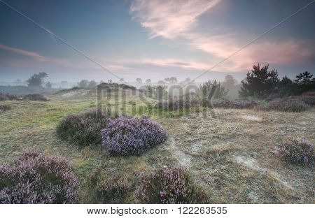 flowering heather in summer morning Drenthe Netherlands