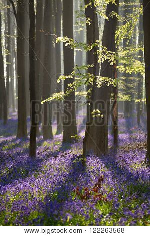 sunny beech forest with bluebell flowers Hallerbos Belgium