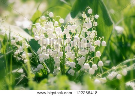 Spring flowers - Lily of the valley in the garden