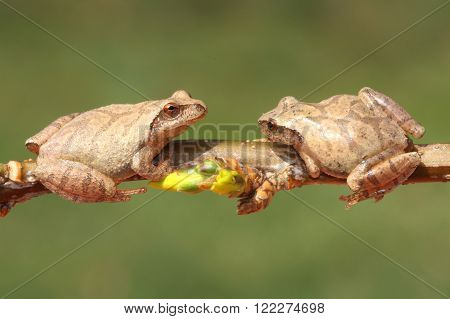 Spring Peepers (Pseudacris crucifer) on a branch with a green background