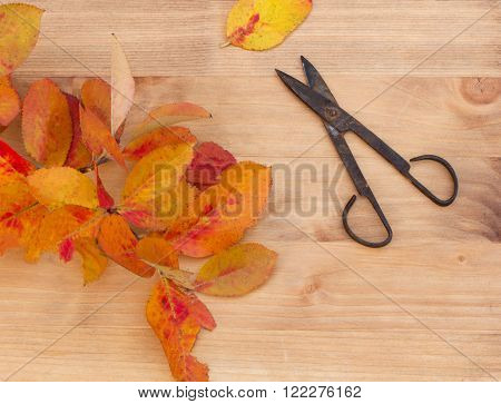branch with orange autumn leaves and old rusty scissors.