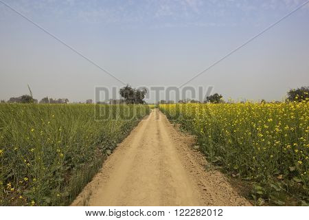 a dusty abohar farming landscape in the indian state of rajasthan with mustard and wheat crops under a blue sky in springtime