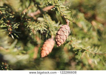 Hemlock spruce ( Tsuga heterophylla) with cones.