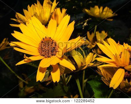 Close up image of some yellow daisy
