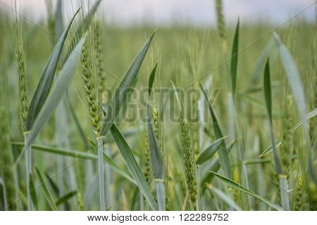 Green wheat (Triticum) field on blue sky in springtime. Close up of unripe wheat ears. Slovakia