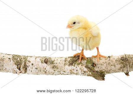 One Newborn Chicken Standing On Wooden Branch