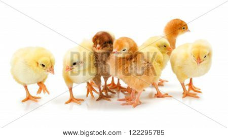 Lots Of Newborn Chickens Standing Together