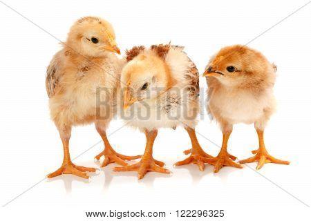 Three Little Chickens Standing On White