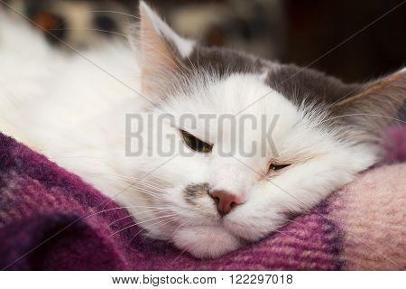 Sick turkish angora cat sleeping on the plaid