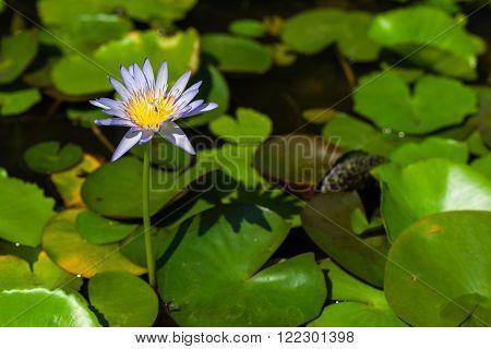 Pretty Purple Water Lily