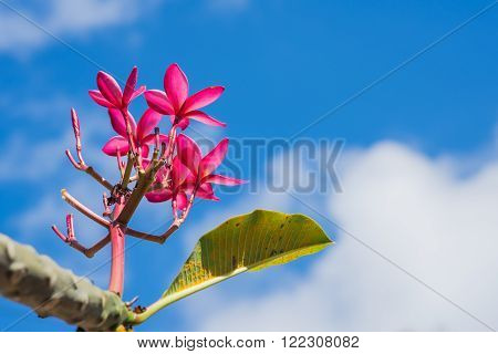 Pink Plumeria Leaves on sky and cloud. focus top plumeria.