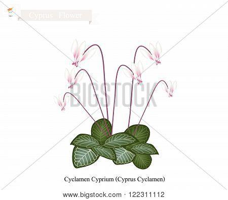 Cyprus Flower Illustration of Cyclamen Cyprium Flowers or Cyprus Cyclamen Flowers. One of The Most Popular Flower in Cyprus.