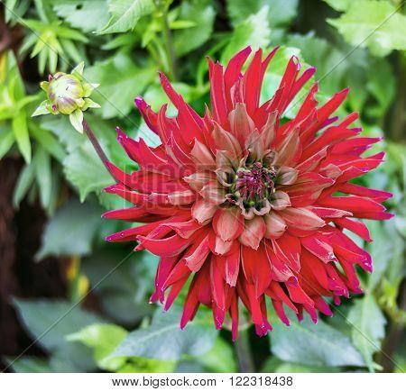 Close view of a red flower dahlia