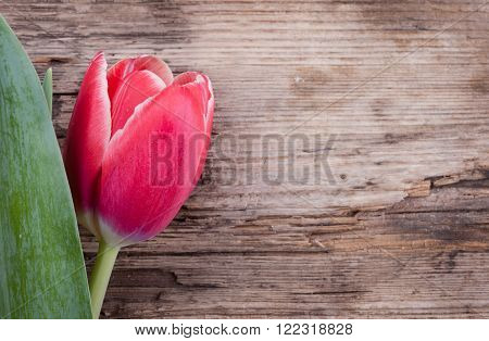One  red tulip  closeup on rotten wooden background