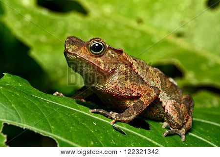 neotropical toad in Amazon rain forest; A small tropical amphibian in the Amazonian rainforest. A cute jungle animal, Rhinella margeritifera