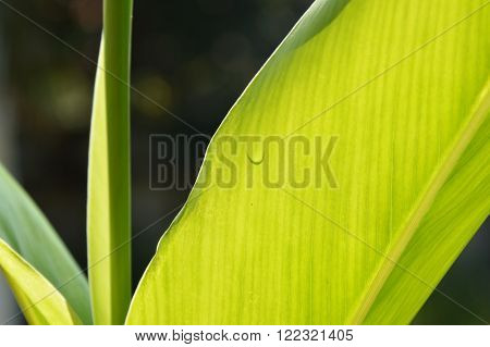 drop of water on galangal leaf in garden