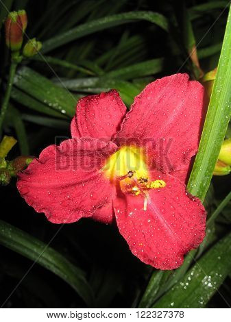 macrofilming of the growing flower of a day lily Hemerocallis of claret red yellow color on a bed in a garden
