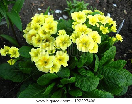 macrofilming of the growing flower a primrose prímula yellow on a bed in a garden