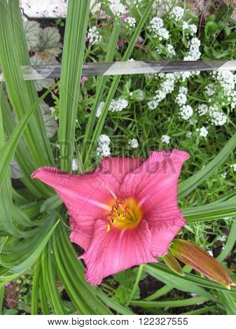 macrofilming of the growing flower of a day lily Hemerocallis of yellow pink color on a bed in a garden
