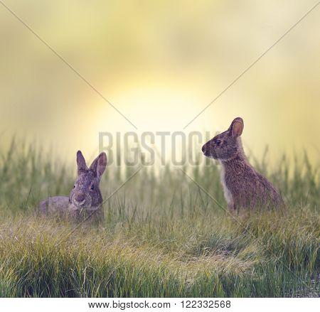 Marsh Rabbits Eating Green Grass