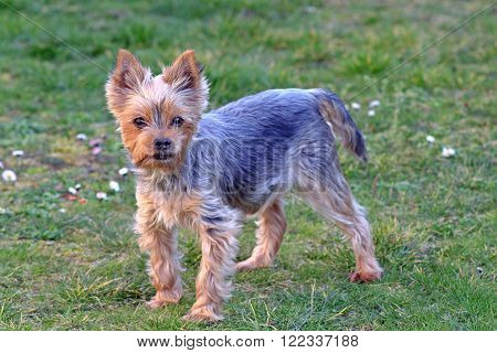 Little Yorkie in the garden dog terrier