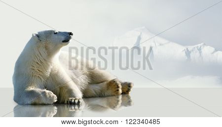 White, polar bear lying on the ice.
