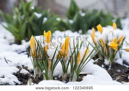 Spring yellow crocuses flower covered with snow under nature background