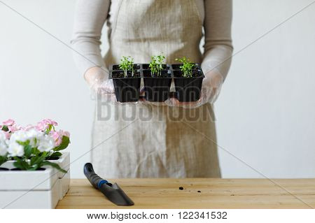 Female hands holding young seedlings in boxes with other sprouts
