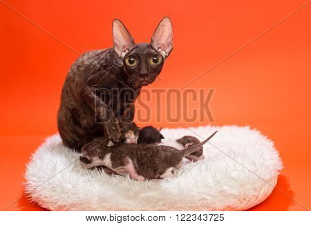 Cat Cornish Rex and kittens on a white fur