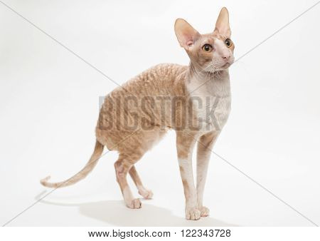 Domestic cat breed the Cornish Rex on white background