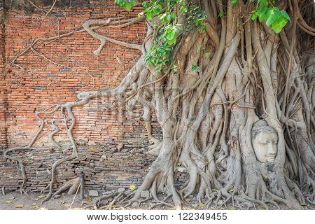 Brick wall with root covers head of buddha statue in Wat Mahathat of Ayutthaya Thailand.
