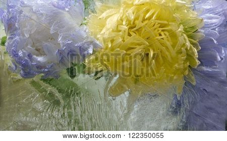 Frozen fresh beautiful flower of aster and air bubbles in the ice cube