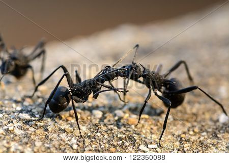 two black ants Fighting, Macro Close up