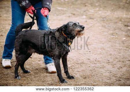 Angry black color mixed breed dog barking at training. Dangerous dog, guard-dog.