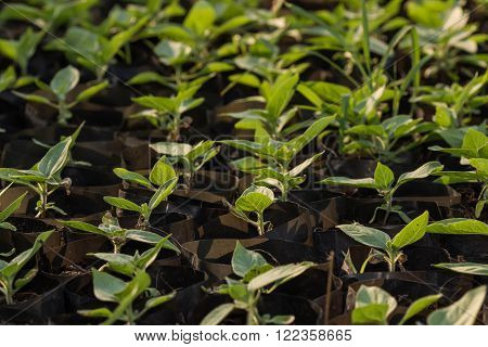 New Life Plant Sapling