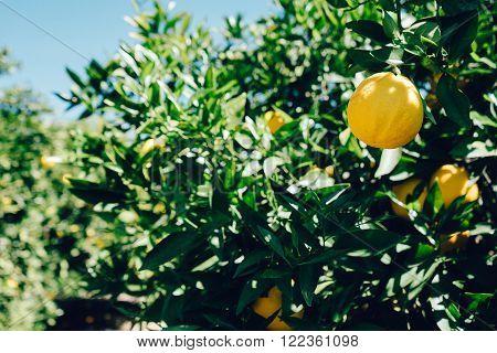 Three Lemons, Slice, Isolated, Lemon Cake, Citrus Fruit