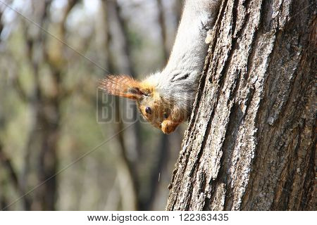 squirrel the tree, head down, holding in its paws a nut and eats it, wears away, chips flying, long wavy hair the tree, head down, holding in its paws a nut and eats it, wears away, chips flying, long wavy hair
