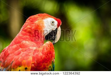 Close Up Of Scarlet Macaw Parrot