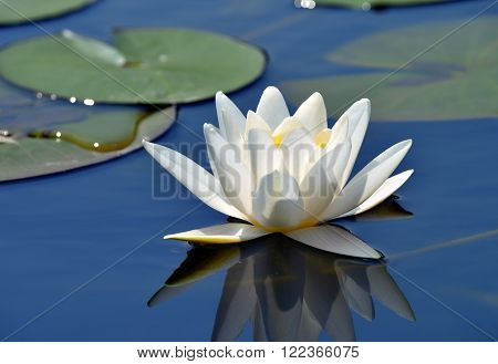 Beautiful water lily in a lake with a blue clear water