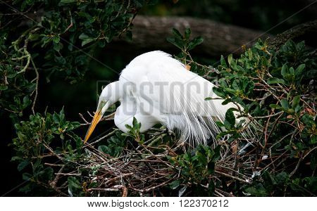 Great Egret in nest with all white plumage