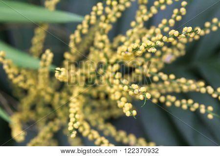 Blossoms Of Neanthe Bella Palm (chamaedorea Elegans)