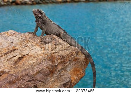 Large iguana resting on a rock in the Caribbean ** Note: Soft Focus at 100%, best at smaller sizes