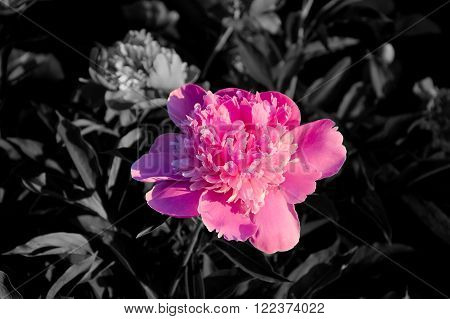 Separated pink peony flowers in grey environment