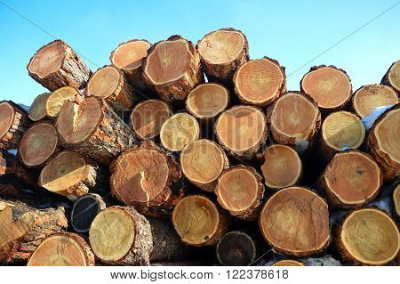 saw cut larch log tree section wood
