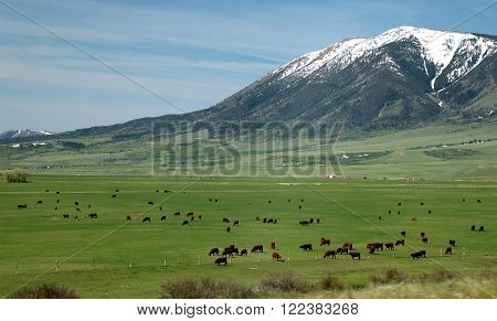 Cattle grazing near Elk Mountain in southern Wyoming.